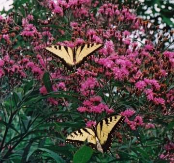 Ironweed and tiger swallowtails